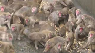 ニホンザルの朝食タイム (日立市かみね動物園) 2017年10月21日