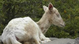 ダマジカ (鹿児島市 平川動物公園) 2019年4月17日