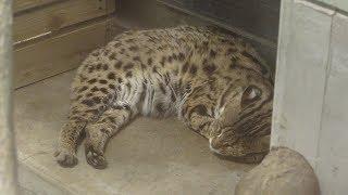 Mainland leopard cat