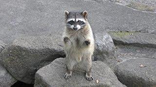 アライグマ に餌やり体験 (日本ライン 花木センター) 2019年11月2日
