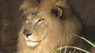ライオン の『トウヤ』と『アレン』 (千葉市動物公園) 2020年9月17日