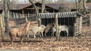 ヤギ と ヒツジ (くじゅう自然動物園) 2019年12月6日