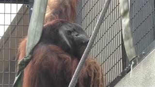ボルネオオランウータン の『ジュン』 (日本平動物園) 2018年8月5日