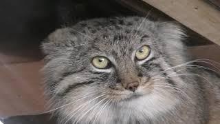マヌルネコ の『ロータス』と『オリーヴァ』 (埼玉県こども動物自然公園) 2019年10月2日