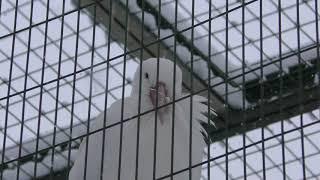 White Stork & Grey heron (Sapporo Maruyama Zoo, Hokkaido, Japan) February 12, 2018