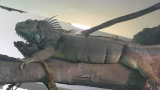 グリーンイグアナ (サンシャイン水族館) 2018年5月10日