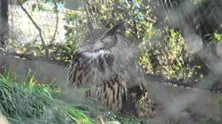 Horned owl (MISAKI KOEN Amusement Park, Osaka, Japan) January 19, 2020