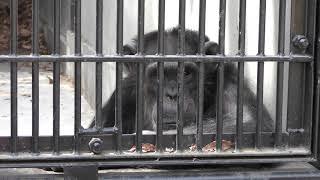 チンパンジーの『ジロー』 (宇都宮動物園) 2018年4月30日