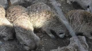 Meerkat Feeding time (Ichikawa Zoological and Botanical Garden, Chiba, Japan) March 4, 2018