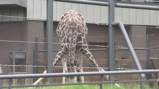 キリン (札幌市 円山動物園) 2019年6月13日