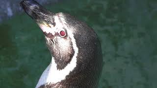 フンボルトペンギン (高知県立のいち動物公園) 2018年3月24日
