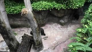 マレーグマ (高知県立のいち動物公園) 2019年12月21日
