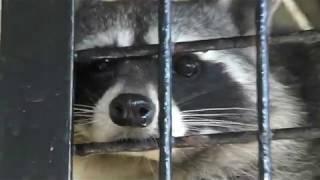 アライグマ (東武動物公園) 2017年11月11日