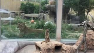 ライオンとミーアキャット (東武動物公園) 2017年6月11日