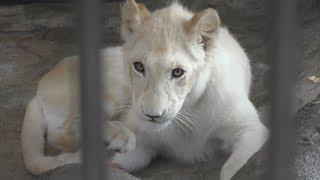 ホワイトライオン の『リズム』 (沖縄こどもの国) 2019年5月12-13日