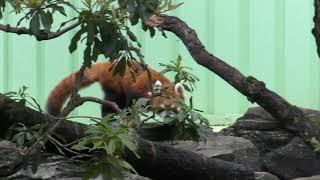 レッサーパンダを探そう! (江戸川区自然動物園) 2017年10月14日