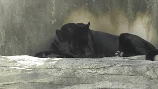 ジャガー の『アトス』 (神戸市立 王子動物園) 2019年5月24日