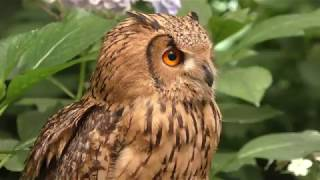 Indian eagle-owl (Kamo Garden, Shizuoka, Japan) July 1, 2018