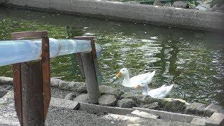 水鳥の池 (栗山公園 なかよし動物園) 2019年6月18日