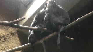 Lion-tailed macaque (Sapporo Maruyama Zoo, Hokkaido, Japan) February 12, 2018