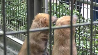 ヤブイヌ の双子『右京』と『左京』 (平川動物公園) 2018年7月29日
