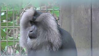 シシオザル (よこはま動物園 ズーラシア) 2020年9月16日
