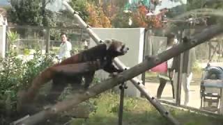 レッサーパンダ (京都市動物園) 2017年11月5日