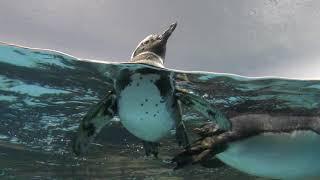 マゼランペンギン (八景島シーパラダイス) 2018年4月14日