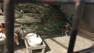 インドクジャク (栗山公園 なかよし動物園) 2019年6月18日