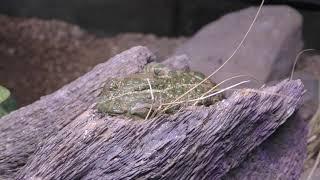 ヨーロッパミドリヒキガエル (体感型カエル館 kawazoo【カワズー】) 2019年9月30日