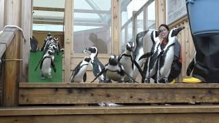 ペンギンのフィーディングタイム・in ごまちゃんデッキ (名古屋港水族館) 2017年11月18日