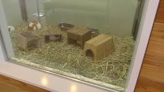 モルモット (仙台市八木山動物公園/セルコホーム ズーパラダイス八木山) 2018年1月20日