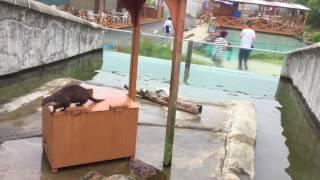 立ち上がって飼育員さんを呼ぶコツメカワウソ (那須どうぶつ王国) 2017年7月23日