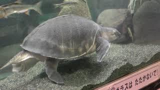 スッポンモドキ (桐生が岡動物園) 2017年10月9日
