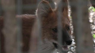Asian wild dog (Yokohama Zoological Gardens [ZOORASIA], Kanagawa, Japan) September 16, 2020
