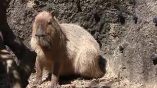カピバラの『グー』 (高知県立のいち動物公園) 2018年3月24日
