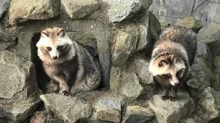 タヌキ (宮崎市フェニックス自然動物園) 2019年12月9日