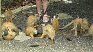 Squirrel Monkey (Ishigaki Yaima Village, Okinawa, Japan) May 15, 2019
