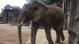 アフリカゾウ (多摩動物公園) 2017年8月27日