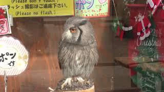 Northern White-faced Owl (Fuji Kachoen Garden Park, Shizuoka, Japan) November 25, 2018