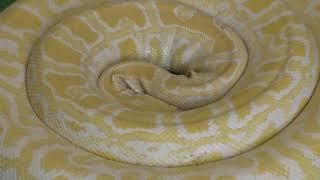 ビルマニシキヘビ Burmese python