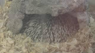 Hedgehog (Manriki Park Manyo-no Mori Zoo, Yamanashi, Japan) September 23, 2018