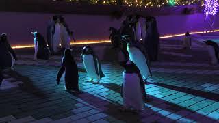 ナイトペンギンパレード (アドベンチャーワールド・ウィンターナイト) 2018年12月24日
