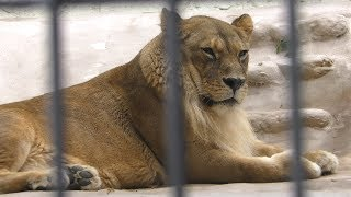 ライオン の『ネネ』と『チャチャ丸』 (福岡市動物園) 2019年4月23日