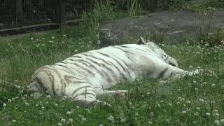 ホワイトタイガー の『リク』 (鹿児島市 平川動物公園) 2019年4月17日
