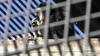 シロテテナガザル (多摩動物公園) 2019年1月18日