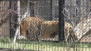 ライオン の『ロアー』 (秋田市大森山動物園) 2019年4月11日