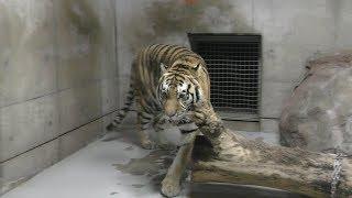 トラ の『センイチ』と『コジロウ』 (天王寺動物園) 2019年3月31日