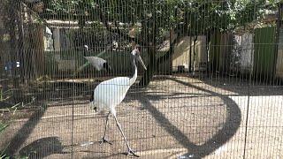 タンチョウ (上野動物園) 2020年9月11日