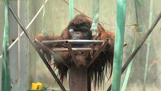 ボルネオオランウータン の『王子ムム』 (神戸市立 王子動物園) 2020年8月4日